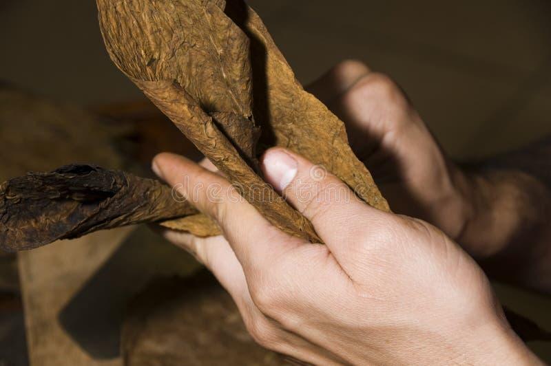 Frische Tabakblätter rollten in Zigarre stockbild