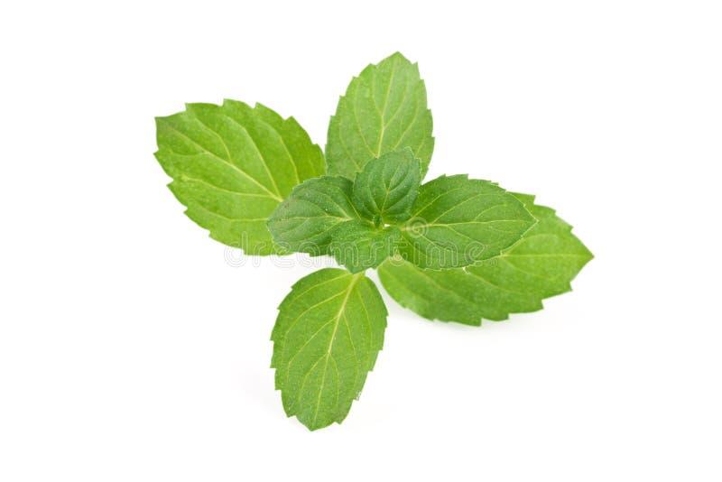 Frische tadellose Blätter getrennt auf weißem Hintergrund stockbilder