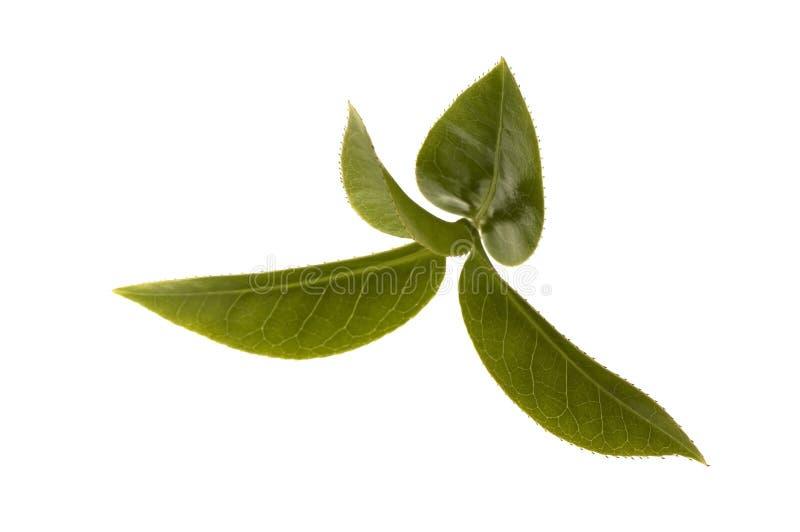 Frische Teeblätter stockbild