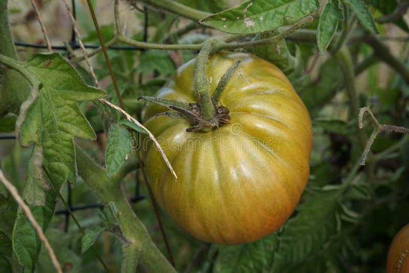 Frische Tomate lizenzfreies stockfoto