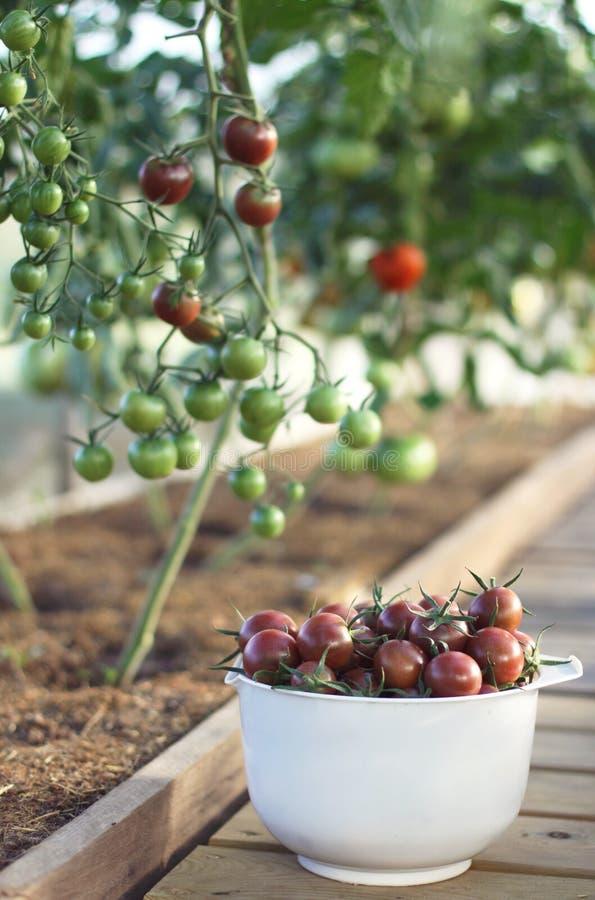 Frische Tomaten in einer Schüssel stockbild
