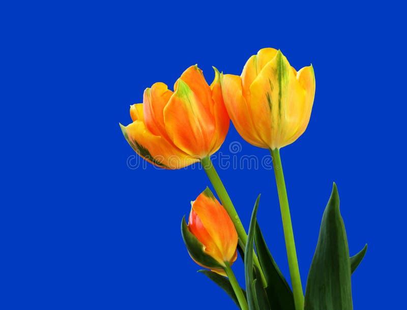 Frische Tulpen lizenzfreie stockfotos