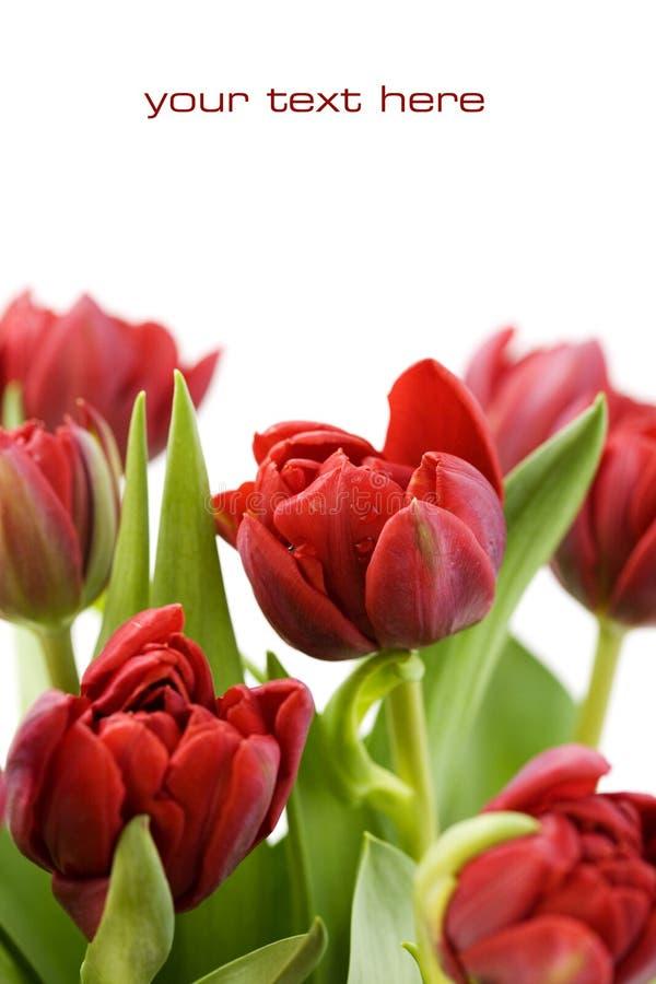 Frische Tulpen stockfoto