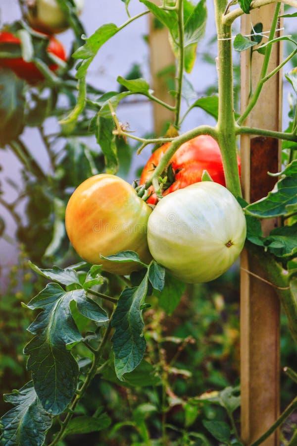 Frische unausgereifte Tomaten, die an der Rebe eines Tomatenbaums im Garten hängen lizenzfreie stockfotografie