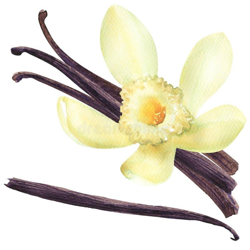 Frische Vanillehülsen und weiße, gelbe Blume, vier Stöcke, Lebensmittelinhaltsstoff, lokalisiert, Handgezogene Aquarellillustrati stockfoto