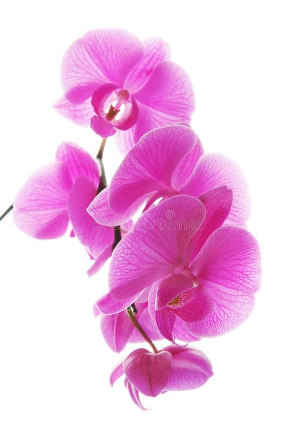 Frische violette Orchideen stockfoto