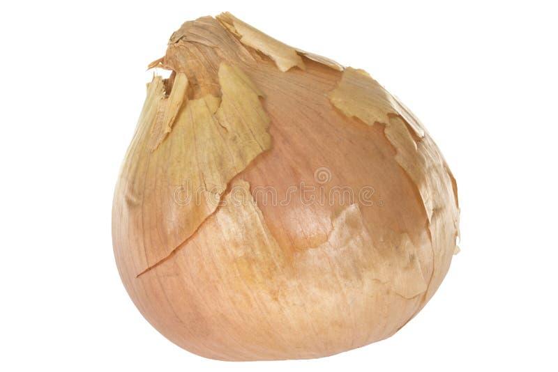 Frische weiße Zwiebel mit Brown-Haut an lizenzfreie stockfotos