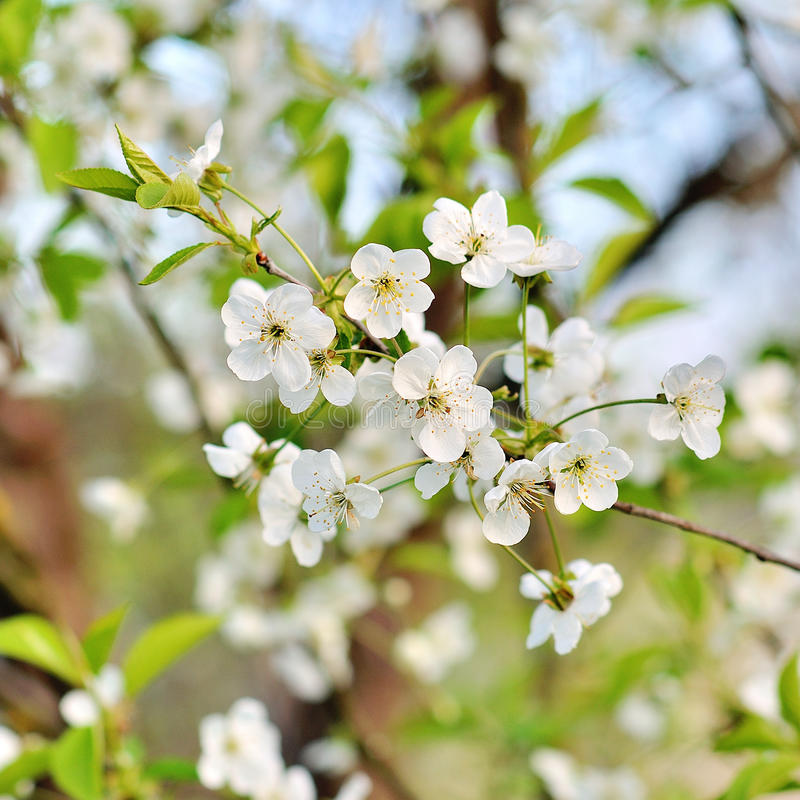 frischer Apfelbaumzweig mit Blumen und Blättern lizenzfreie stockfotos