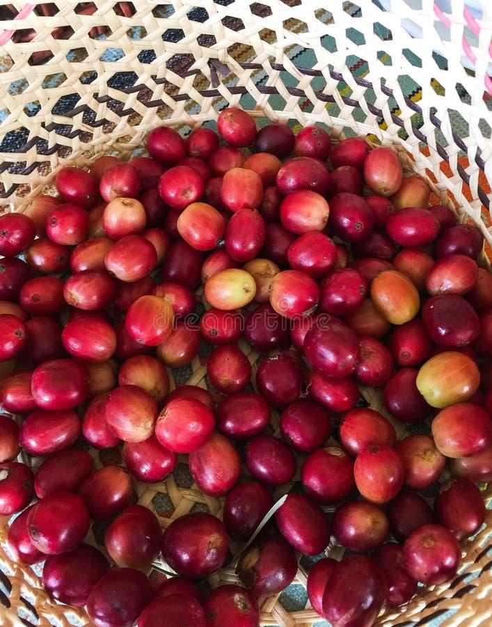 Frischer ausgewählter Kaffee Bean Fruit in einem gesponnenen Korb stockbild