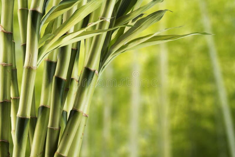 Frischer Bambus stockbild