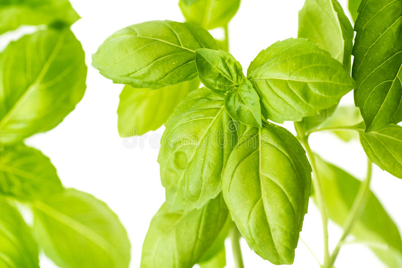 Frischer Basil Herb Leaves Closeup stockfotos