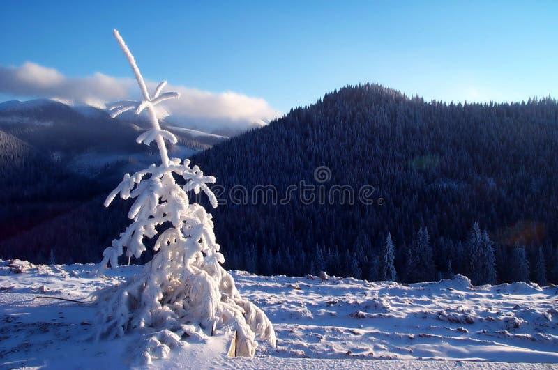 Frischer Baum der weißen Tanne in der warmen Leuchte stockbild