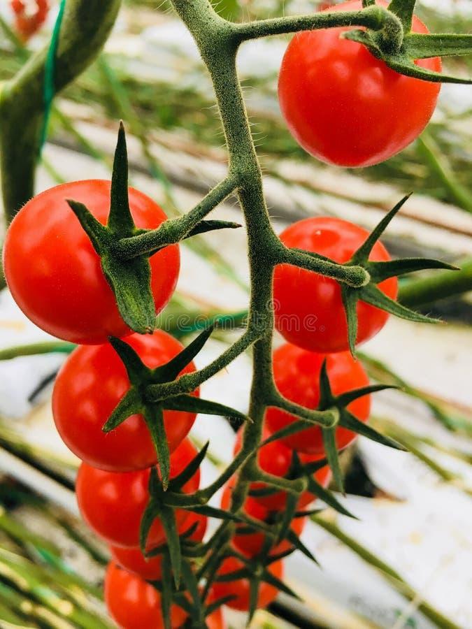 Frischer britischer tomatoe Binder stockfotos