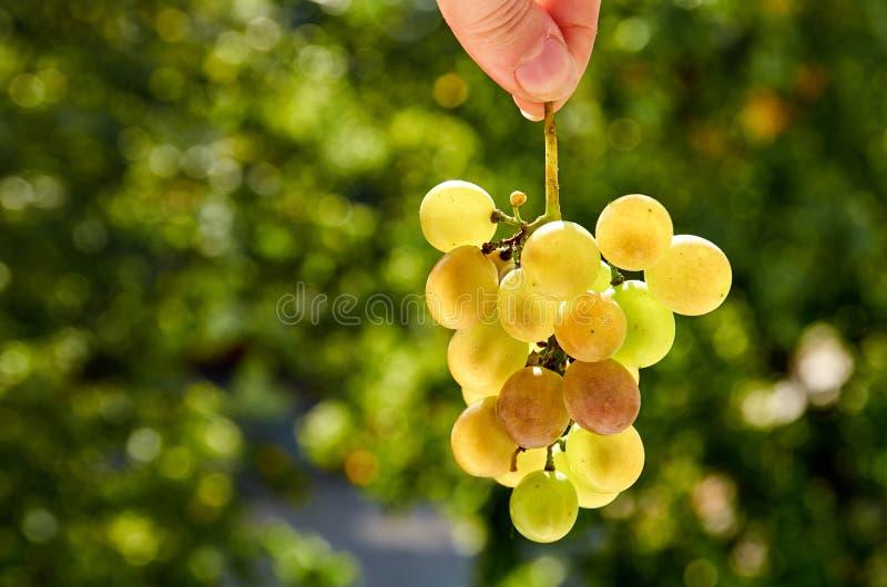 Frischer Brunch von den grünen Trauben, die in der Hand auf unscharfem Naturhintergrundabschluß hochhalten stockfoto