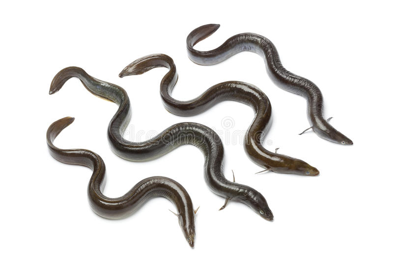 Frischer europäischer Aal stockbild