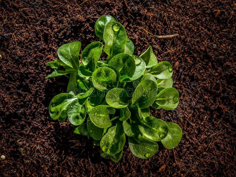 Frischer Feldsalat oder Feldsalat mit nettem Wasser fällt stockfotos