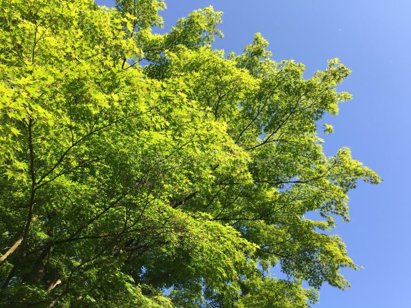 Frischer grüner Frühlingsbaum verlässt gegen blauen Himmel lizenzfreie stockfotos