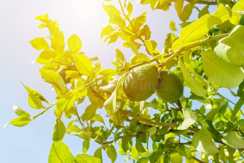 Frischer grüner Kalk auf Baum im Garten lizenzfreie stockfotografie