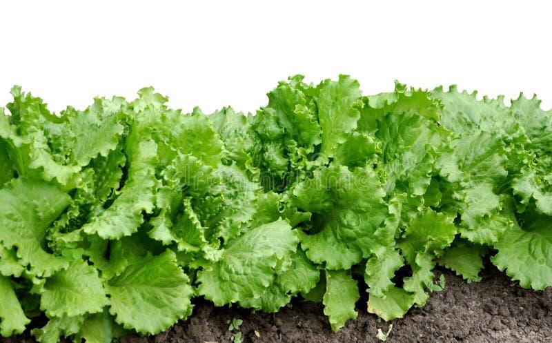 Frischer grüner Kopfsalat lokalisiert auf weißem Hintergrund lizenzfreie stockbilder