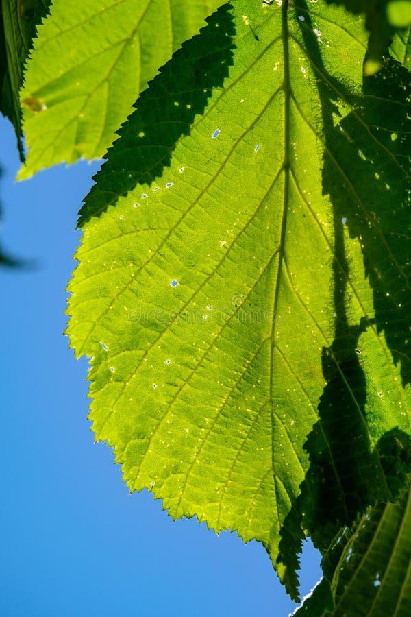 frischer grüner Laubbaum verlässt im Morgenlicht gegen Unschärfeba stockbild