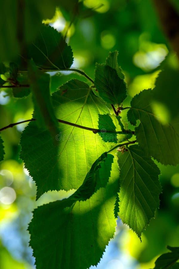 frischer grüner Laubbaum verlässt im Morgenlicht gegen Unschärfeba lizenzfreies stockfoto