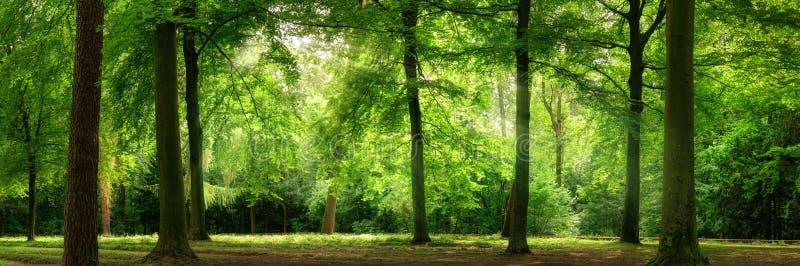 Frischer grüner Wald im träumerischen weichen Licht lizenzfreies stockfoto