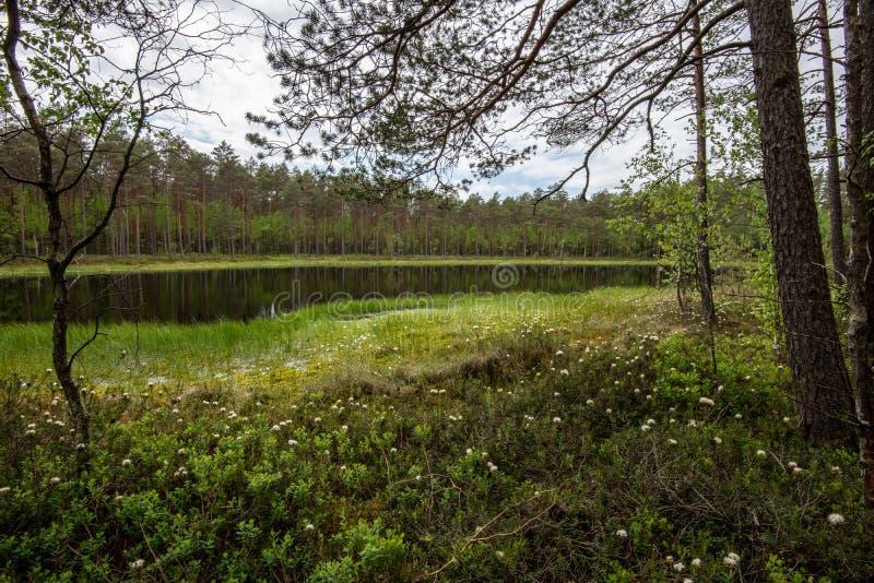 frischer gr?ner Wald um Landsee mit Reflexionen von Baumst?mmen stockbild