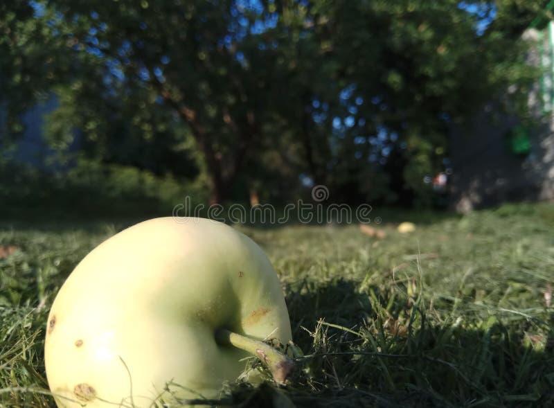 Frischer hellgrüner Apfel über Gras auf Tapetenmakro natürlicher Hintergrund des Herbstgrases lizenzfreie stockfotografie