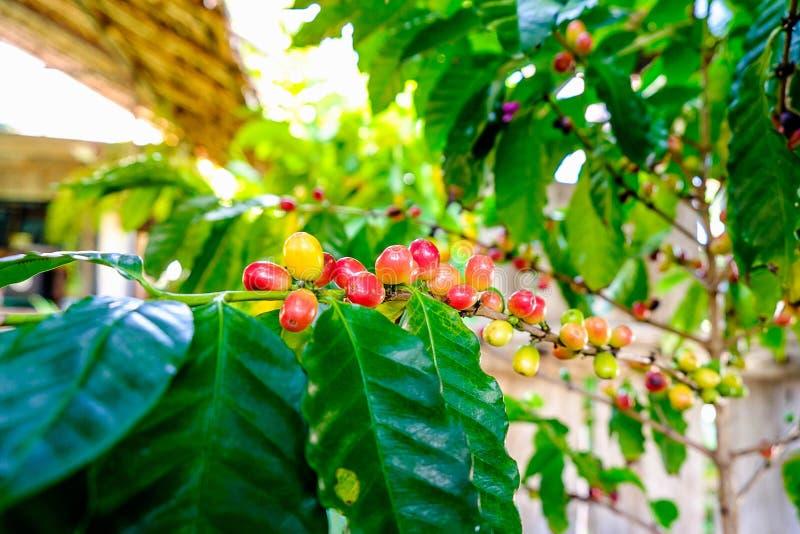 Frischer Kaffeebohne- und Kaffeebaum lizenzfreie stockfotografie