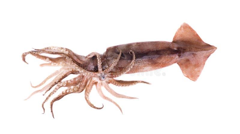 Frischer Kalmar lokalisiert auf weißem Hintergrund lizenzfreie stockfotos