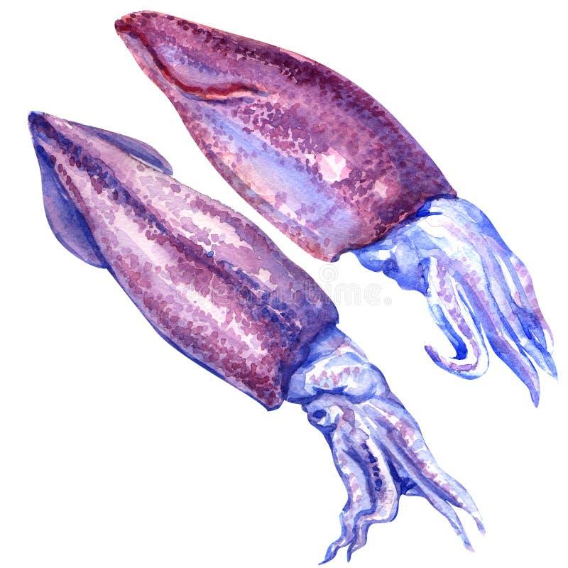 Frischer Kalmar lokalisiert auf weißem Hintergrund lizenzfreie abbildung
