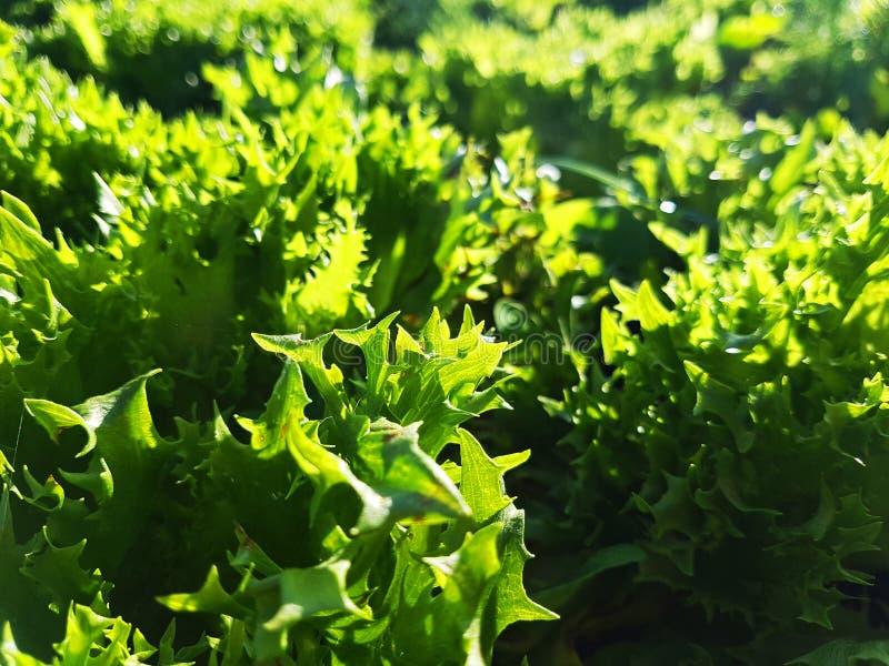 Frischer Kopfsalat im Bauernhof lizenzfreie stockfotos