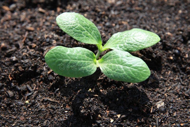 Frischer organischer Zucchini-Sämling auf dem Feld in Deutschland stockfotos