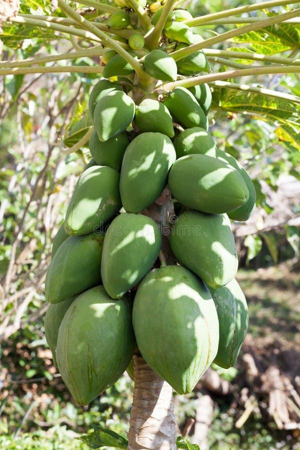 frischer Papayabaum mit Bündel Früchten lizenzfreies stockfoto