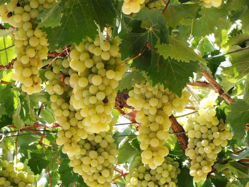 Frischer reifer Traubenobstbau in der Natur stockfoto