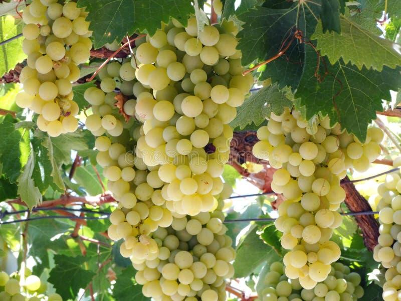 Frischer reifer Traubenobstbau in der Natur lizenzfreies stockfoto