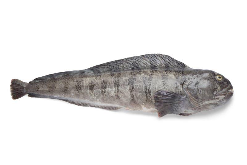 Frischer roher atlantischer Seewolf lizenzfreie stockfotos