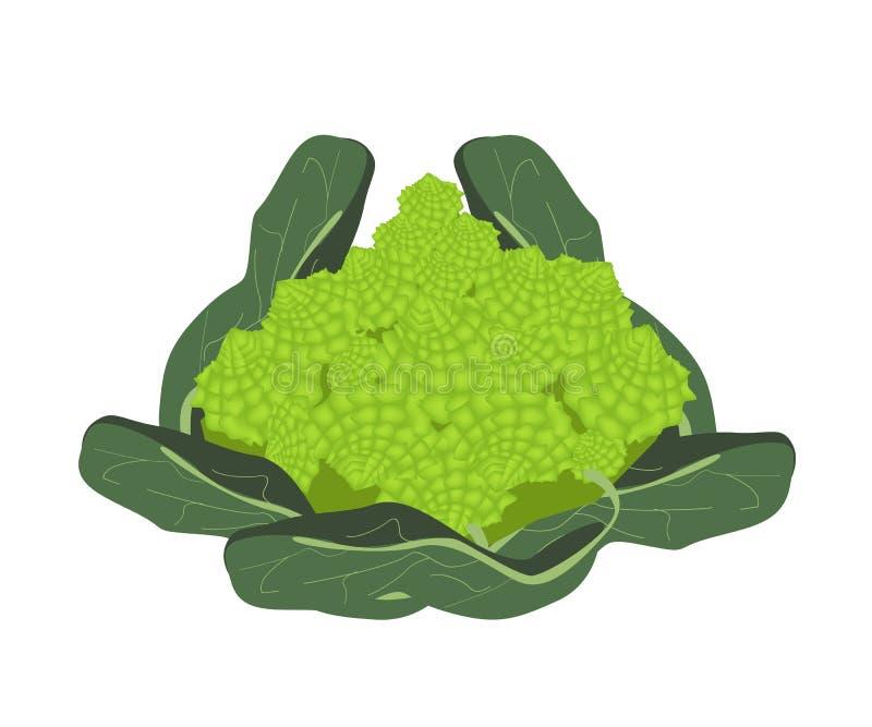 Frischer Romanesco-Brokkoli-Kohl stock abbildung