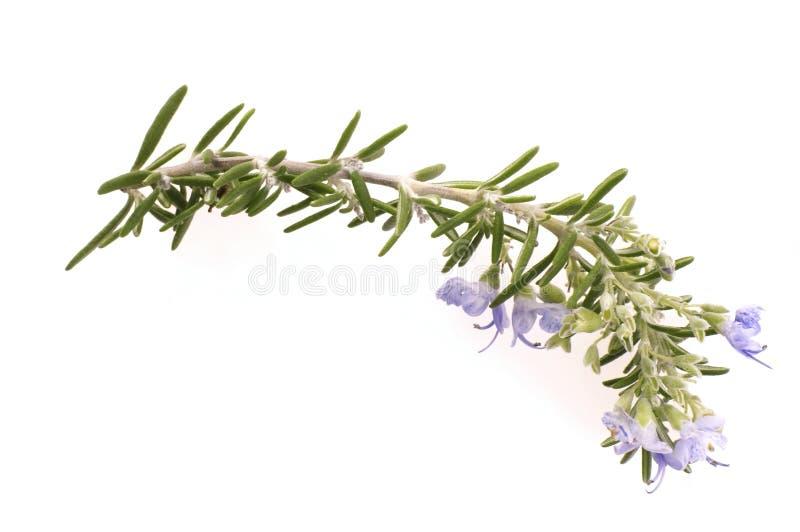 Frischer Rosmarin mit Blumen stockfotografie