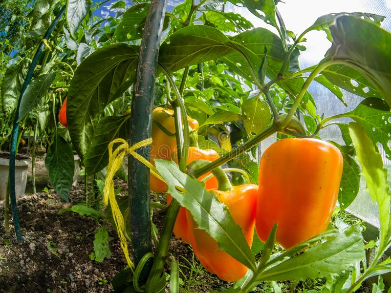Frischer roter Gemüsepaprika der Nahaufnahme in einem Gewächshaus stockbilder