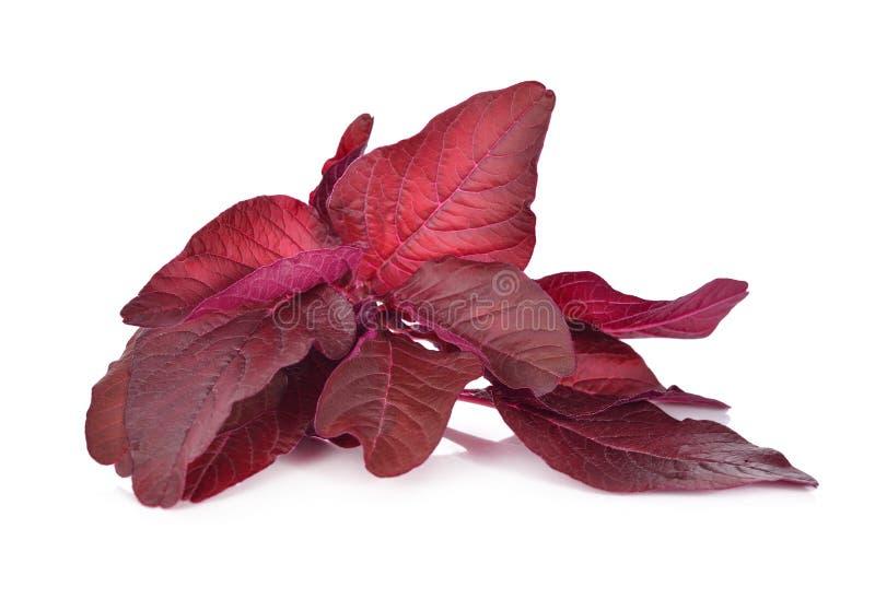 Frischer roter Spinat oder roter Amarant auf Weiß lizenzfreies stockbild
