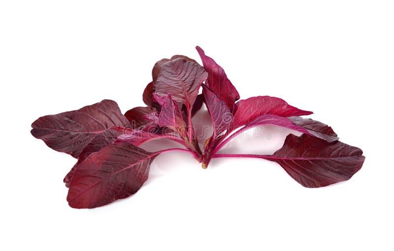 Frischer roter Spinat oder roter Amarant auf Weiß stockbilder