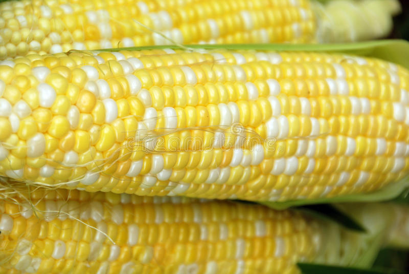 Frischer süßer Mais stockbilder