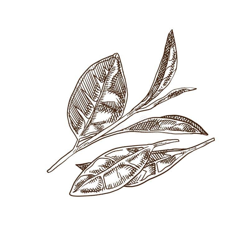 Frischer Teeblatt-, Grüner und Schwarzertee, Anlagen, Ernte, Plantagen lizenzfreie abbildung
