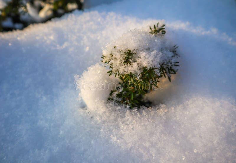 Frischer weißer Schnee auf einer kleinen Eibe im Garten an einem sonnigen Tag stockbilder