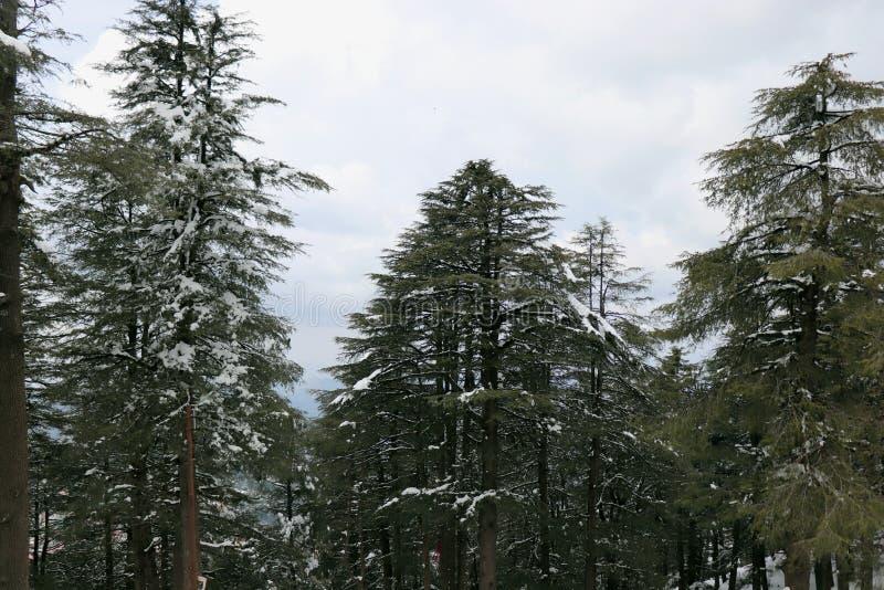 Frischer weißer Schnee auf Kiefer lizenzfreie stockbilder