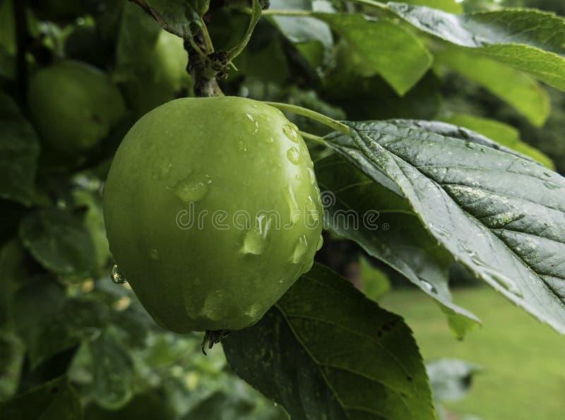 Frisches Apple in einem Obstgarten stockbilder