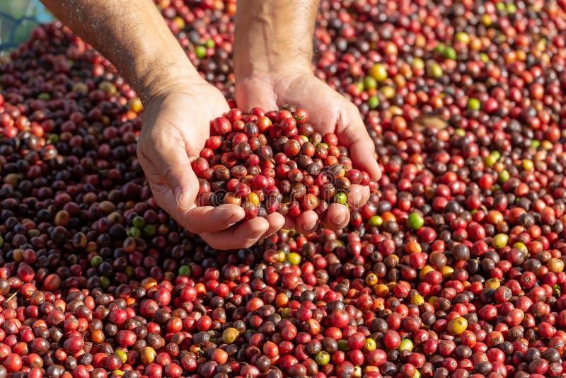 Frisches Arabica-rote Kaffeebohnebeeren in der Hand und Proce trocknend lizenzfreies stockfoto