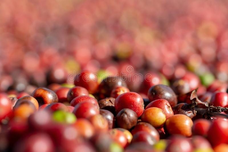 Frisches Arabica-rote Kaffeebohnebeeren und trocknender Prozess lizenzfreies stockfoto