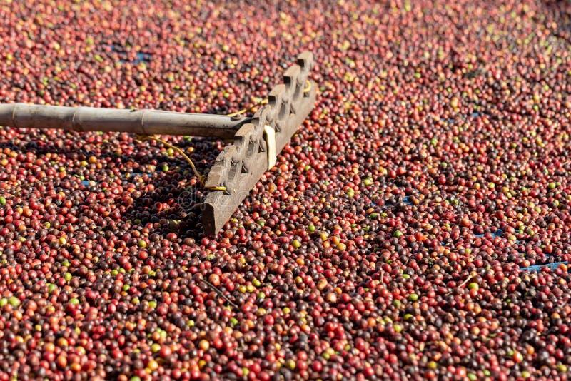 Frisches Arabica-rote Kaffeebohnebeeren und trocknender Prozess lizenzfreie stockfotos